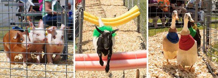 Don't miss the pig, goat & duck races at the Fair this year